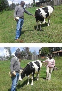Mrs Fresia - MEND's first dairy cow in Kenya